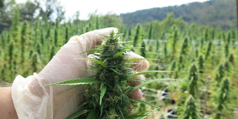 pianta di marijuana canapafarm