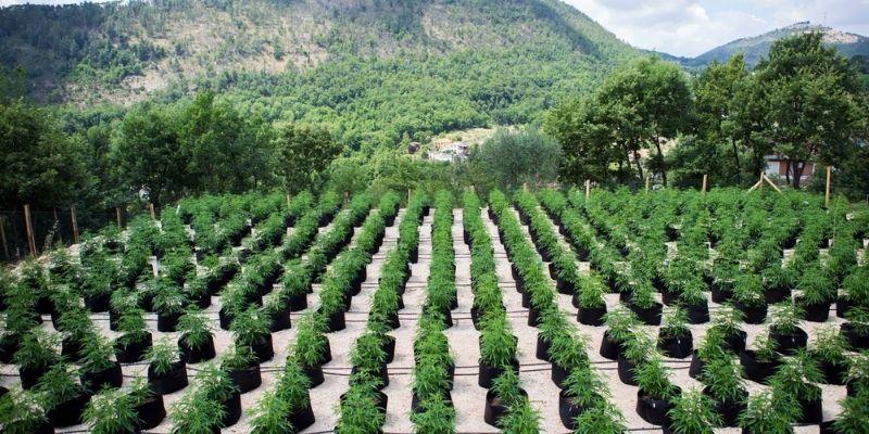 coltivazione marijuana outdoor canapafarm