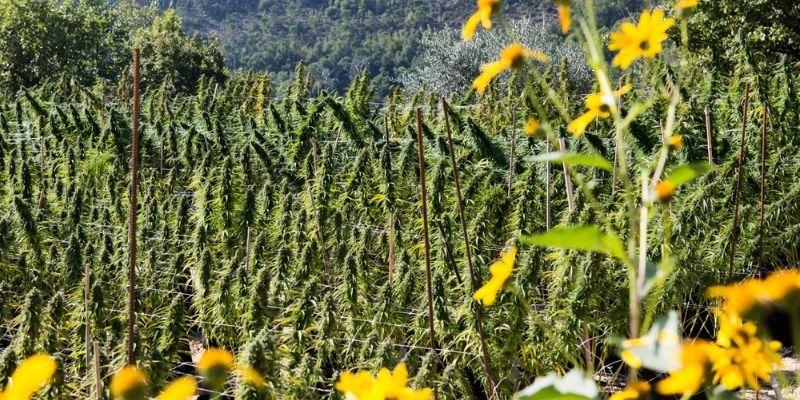 piante marijuana femmina canapafarm