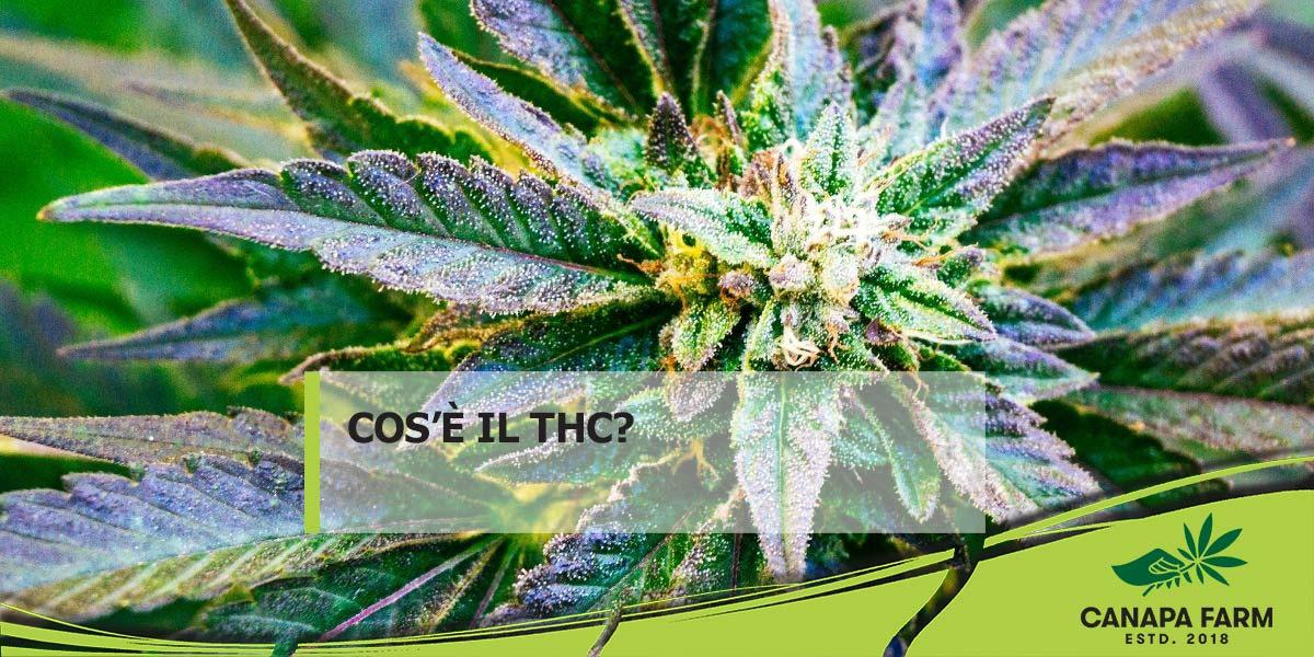 thc tetraidrocannabinolo cannabis