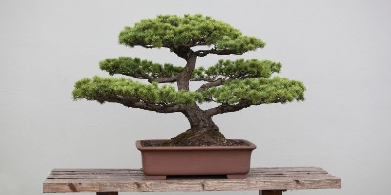 bonsai giapponese