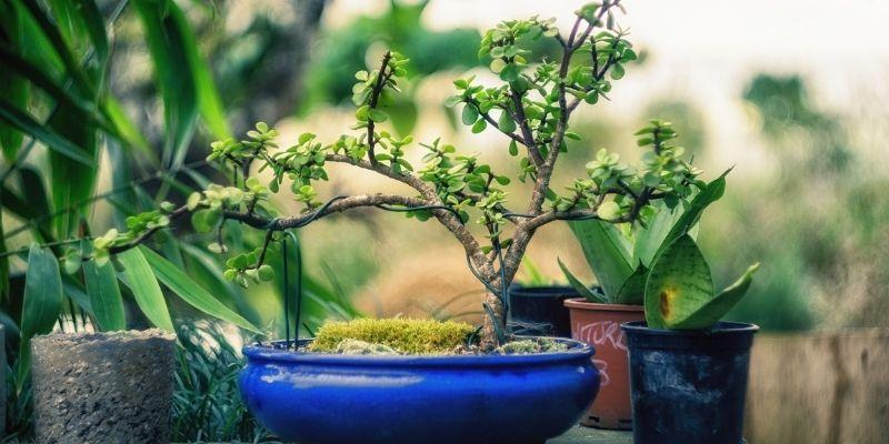 bonsai legatura pianta