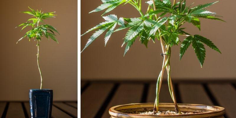 marijuana bonsai