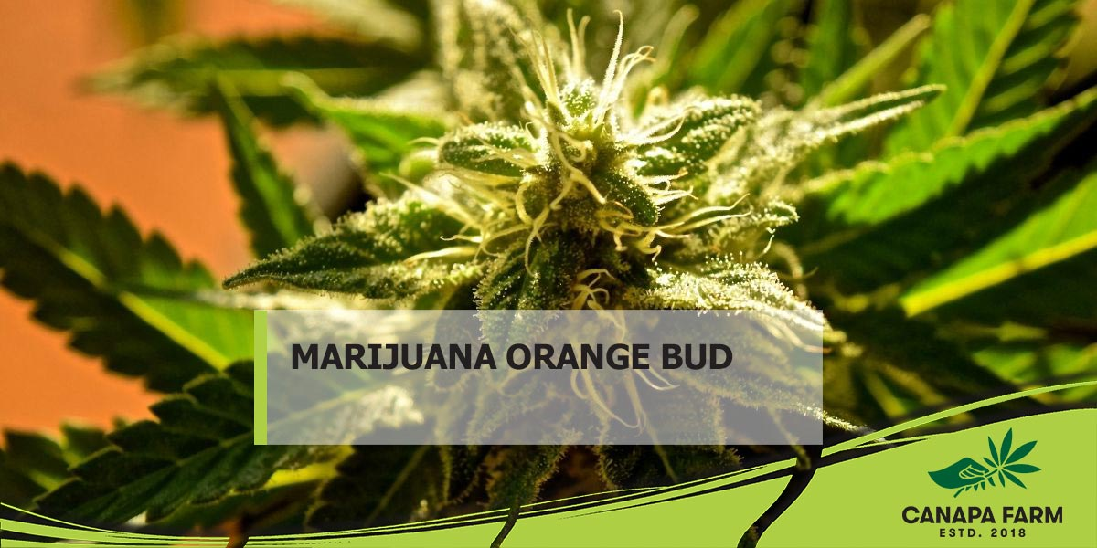 marijuana orange bud