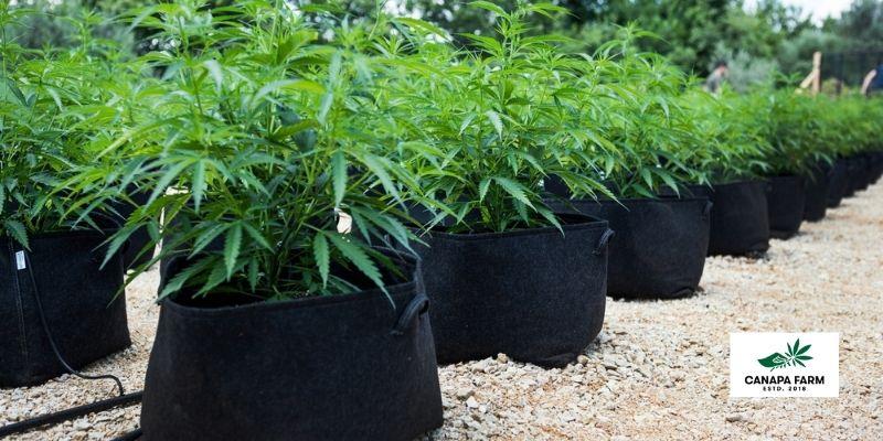cannabis sativa l produzione legale canapafarm