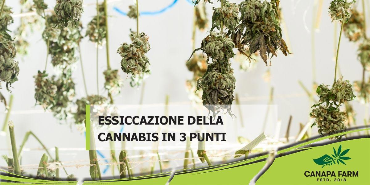 essiccazione cannabis canapa farm