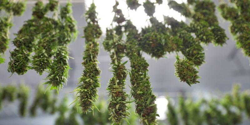 stanza essiccazione cannabis