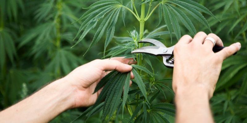 talee di cannabis