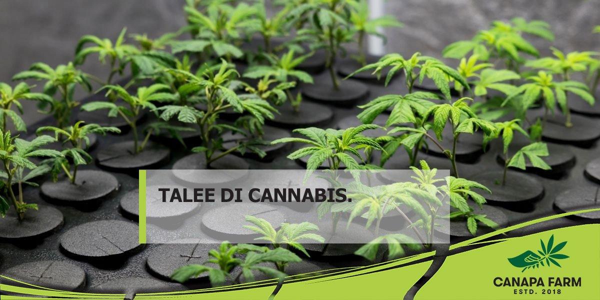talee cannabis